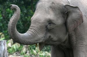 Sumatran elephant, Riau, Indonesia