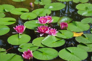 water-lillies-x4dq